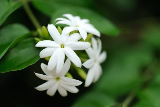 Jasmine Flower Kerala Wholesale today Rate